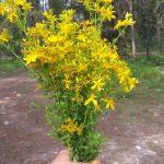 St Johns Wort flowers